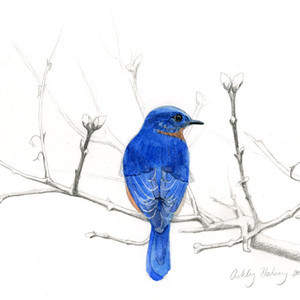 AshleyHalsey_bluebird.jpg