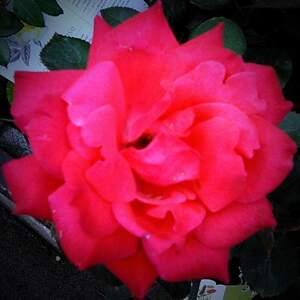 pinky_red.jpg