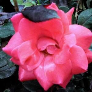 rose_idea.jpg