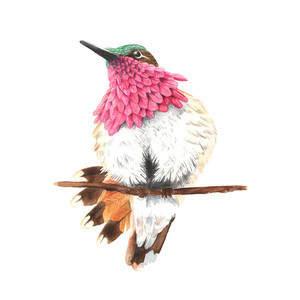 wine_throated_humming_bird.jpg