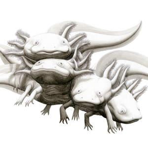 Axolotles-Shawn_E_Russell.jpg