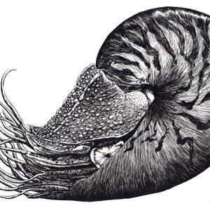 nautilus-shawnerussell.jpg