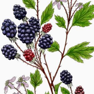 Evergreen_Blackberry.jpg