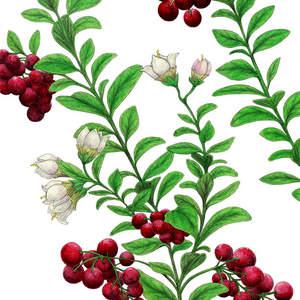 Lingon_Berries-ShawnERussell.jpg
