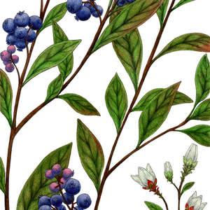 Lowbush_Blueberry-ShawnERussell.jpg