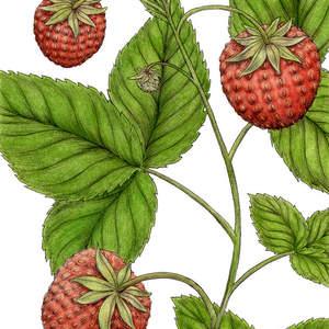 Wild_Strawberry-ShawnERussell.jpg
